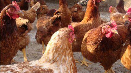 Salvaje matanza de gallinas en Reconquista: la policía dice que fueron dos niños