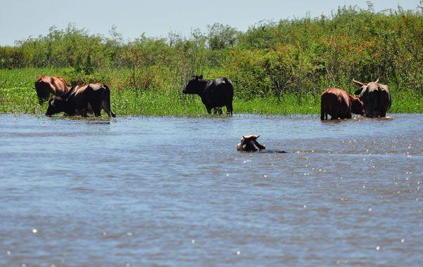 atentos. La posibilidad de que el ganado quede prisionero del agua obliga a monitorear la zona de islas.