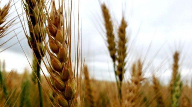 En pocos días comienza la cosecha de trigo en la región.