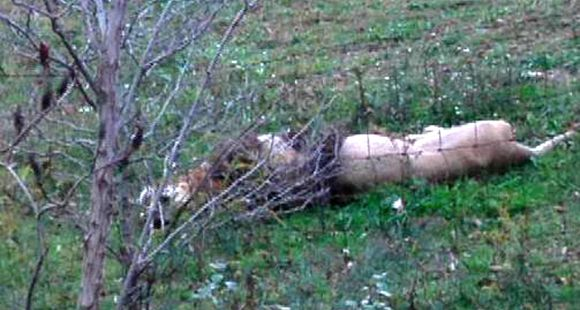 Dueño de un zoo privado liberó leones, osos y tigres antes de suicidarse