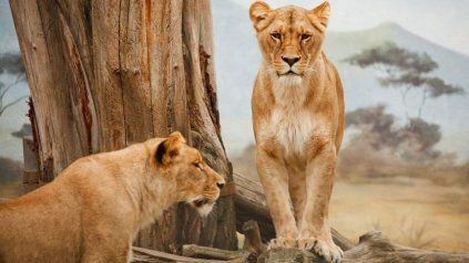Tigres y leones son algunos de los animales que tienen un alto nivel de contagio.
