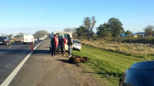 Muerto. El animal quedó tirado sin vida luego del fuerte impacto recibido.