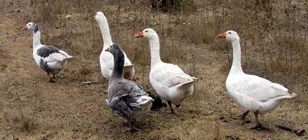 La Plata: usan gansos como alarmas vivientes por ola de robos en quintas