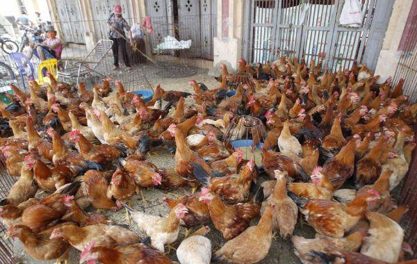 Los criaderos de aves son monitoreados por el gobierno. Cancelan exportaciones de animales vivos.