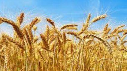 El valor del trigo, en los contratos para mayo, registraba una baja de US $ 0,3 hasta US $ 260,7 la tonelada.