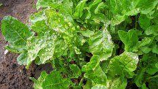 Rúcula, un cultivo que hoy está afectado por un patógeno.