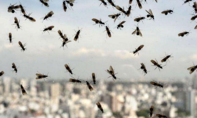 Las hormigas sorprendieron a santafesinos y entrerrianos.