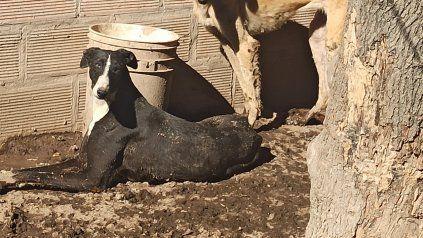 A los galgos los tenía hacinados, sin agua y comida y dormían arriba de su propio orín y excremento.
