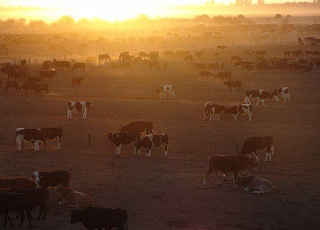 La raza representa el 50 % del rodeo de nuestro país. Es responsable de las ventajas competitivas de la Carne Argentina en el mundo.