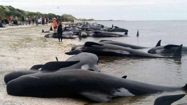 Las ballenas quedaron varadas en la costa en Nueva Zelanda.