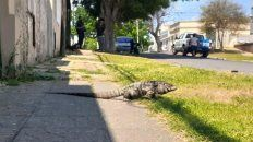 Una iguana tomaba sol en la vereda de la casa de una joven