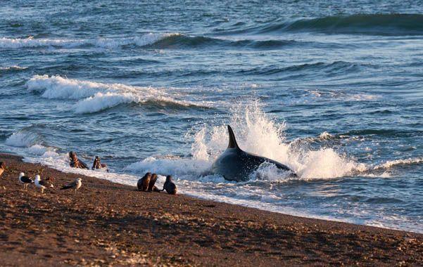 Impresionante. Una orca en caleta Valdés en pleno ataque a crías de lobos marinos. El cetáceo llega a quedar sobre la arena luego de una embestida.