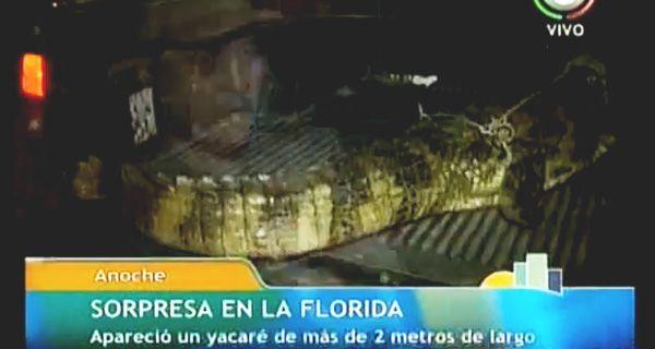 Encontraron un yacaré negro de dos metros de largo en la Rambla Catalunya