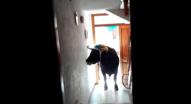 Un toro irrumpió violentamente  en una casa y aterrorizó a una familia