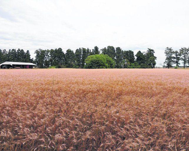 Trigo. En el dentro norte de la provincia se sembraron 309 mil hectáreas.