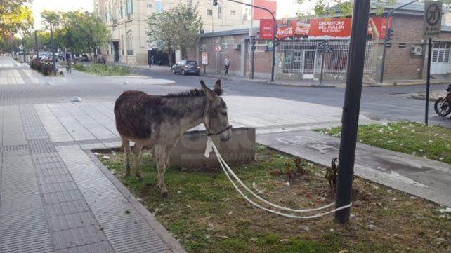 El burro fue atado a un poste hasta la llegada de su dueño.