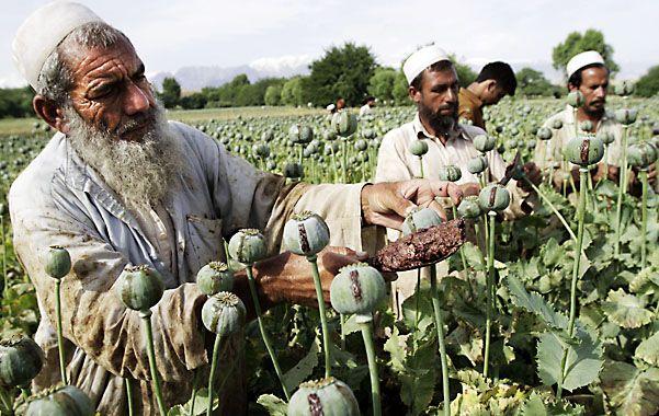 Este de kabul. Agricultores ordeñan amapolas en Afganistán (mayor productor mundial) y extraen la pasta de opio