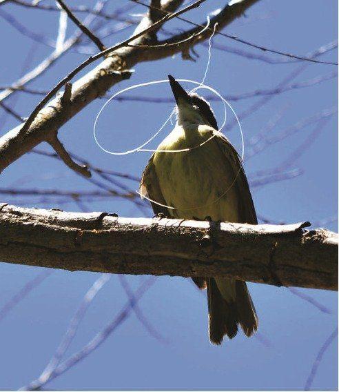 Un ave enredada en tanza.