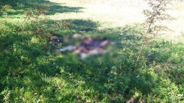 Un ternero muerto con recientes mordeduras habría sido alimento del felino que estaría acostumbrado a recibir comida.