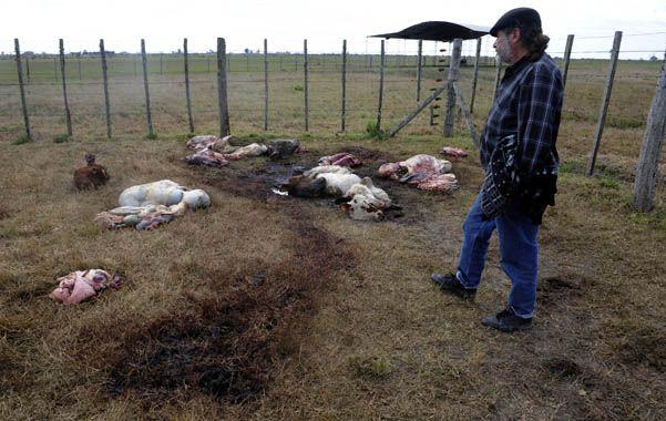 Espeluznante. Cabezas de ganado y vísceras esparcidas en el campo donde mataron a los vacunos.