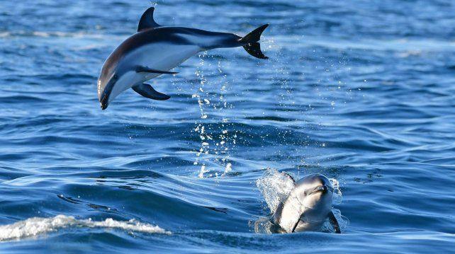 Una de las tantas postales que protagonizaron los delfines este fin de semana en Puerto Madryn.
