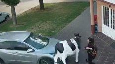 video: un excentral atropello a una mujer y a una vaca de utileria