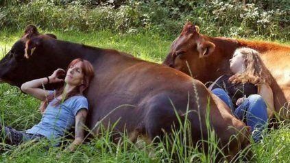 Las vacas poseen una temperatura corporal más cálida que los humanos y sus latidos cardíacos son más lentos.