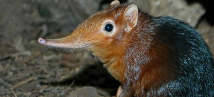Descubrieron en Tanzania una nueva especie de mamífero