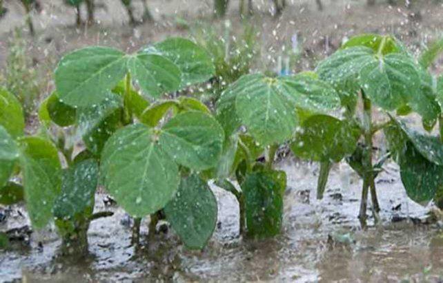 Cultivo. La soja en el sur de Santa Fe necesita unos 60 mm más de agua.
