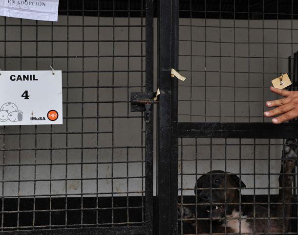 En el Imusa tienen encerrados a perros de gran porte abandonados por sus dueños. (Foto: F. Guillén)