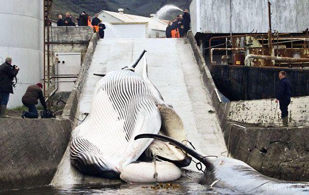 Masacre. Islandia no respeta la moratoria mundial de la caza de cetáceos.