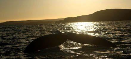 Más de 300 mil cibernautas siguieron en directo La vigilia de las ballenas