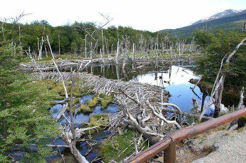 destrucción. Los diques que construyen provocan inundaciones.