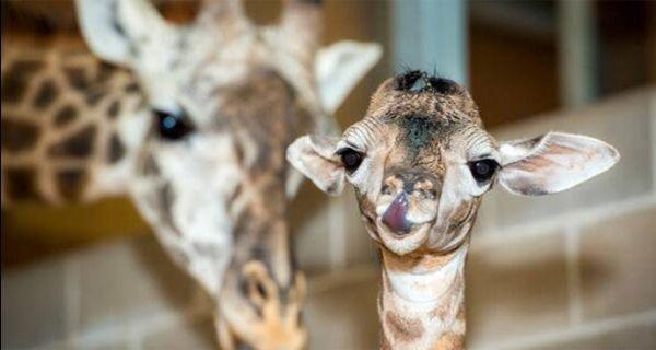 Un video muestra el nacimiento de una jirafa en el zoológico porteño