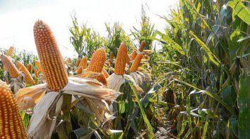Foco. Córdoba, una de las 5 regiones más importantes en producción de maíz.