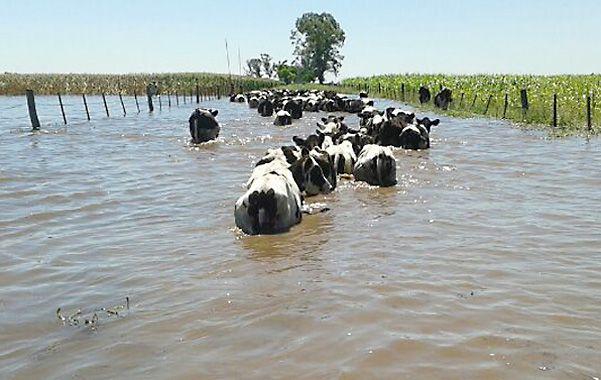 Sumergido. El ganado de un tambo de la localidad de Vila