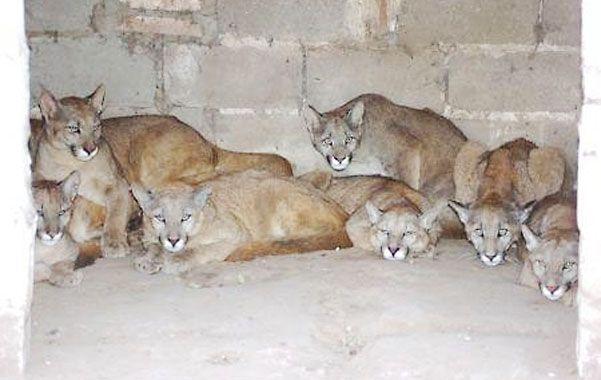 Cautivos. En 2008 hallaron en la estancia La Primavera 26 pumas criados para lanzarlos al coto de caza.