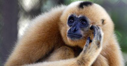 Hallan en Camboya grandes colonias de especies de monos amenazadas