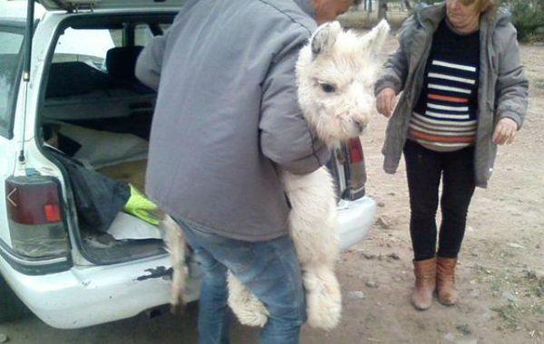 Recuperaron en Córdoba dos llamas que eran transportadas en un baúl