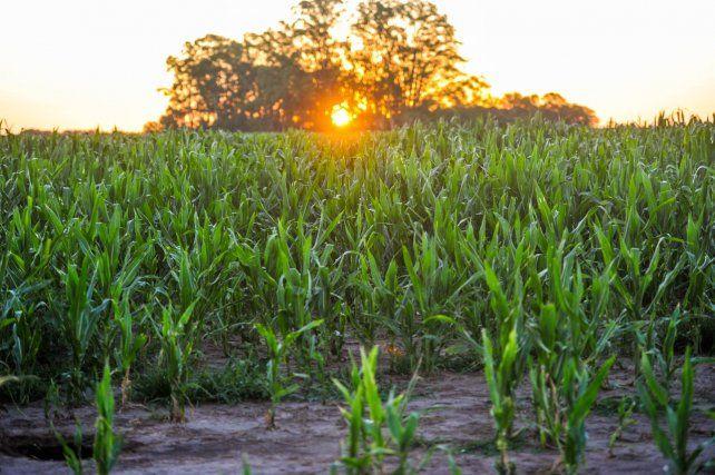 ATARDECER. Los últimos rayos del día iluminan el cultivo de maíz.