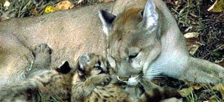En Tostado liberaron 25 pumas que eran parte de un coto de caza