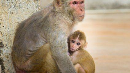 Monos Rhesus, como los utilizados en el experimento que logró crear seres híbridos con genes humanos y de estos animales.
