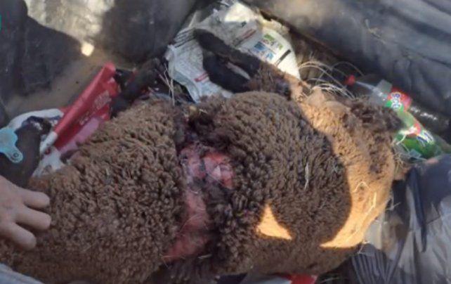 Buscan a un puma que habría atacado a una oveja en la zona de Soldini