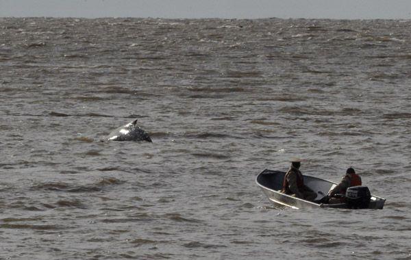 Personal de Prefectura y otras fuerzas intentaban llevar al animal hacia aguas abiertas. (Foto: Télam)
