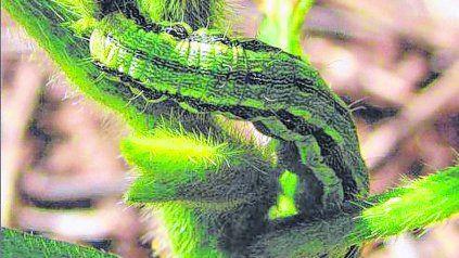 Las polillas son las que generan las orugas que los atacan y se comen hojas, tallos y/o granos.