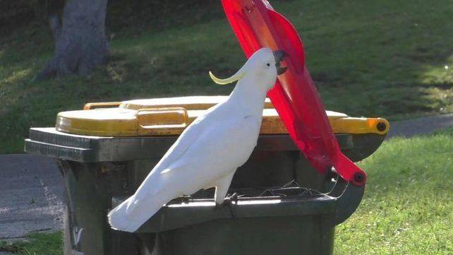 Las cacatúas de Australia aprenden a abrir los contenedores de basura