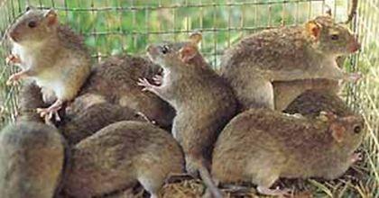 Hallan ADN de transmisión horizontal en varias clases de mamíferos