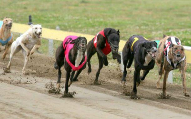 A toda velocidad. En las competencias suelen utilizarse los perros galgos.