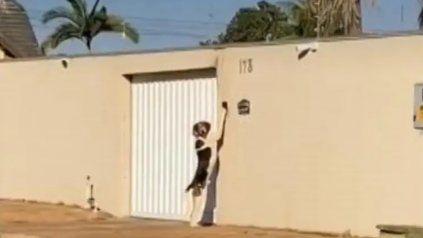 Viral: el perrito que aprendió a tocar el timbre de su casa