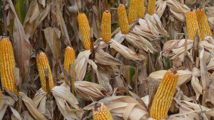 Revisión. GEA estimó que con las lluvias el maíz llegará a 46 millones de toneladas.